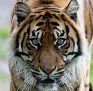 Close up of a Sumatran Tiger at Fota