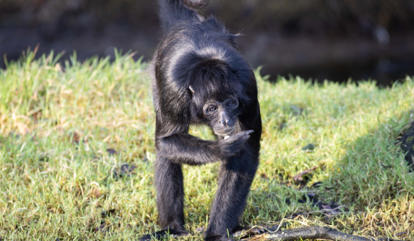 Colombian Black Spider Monkey