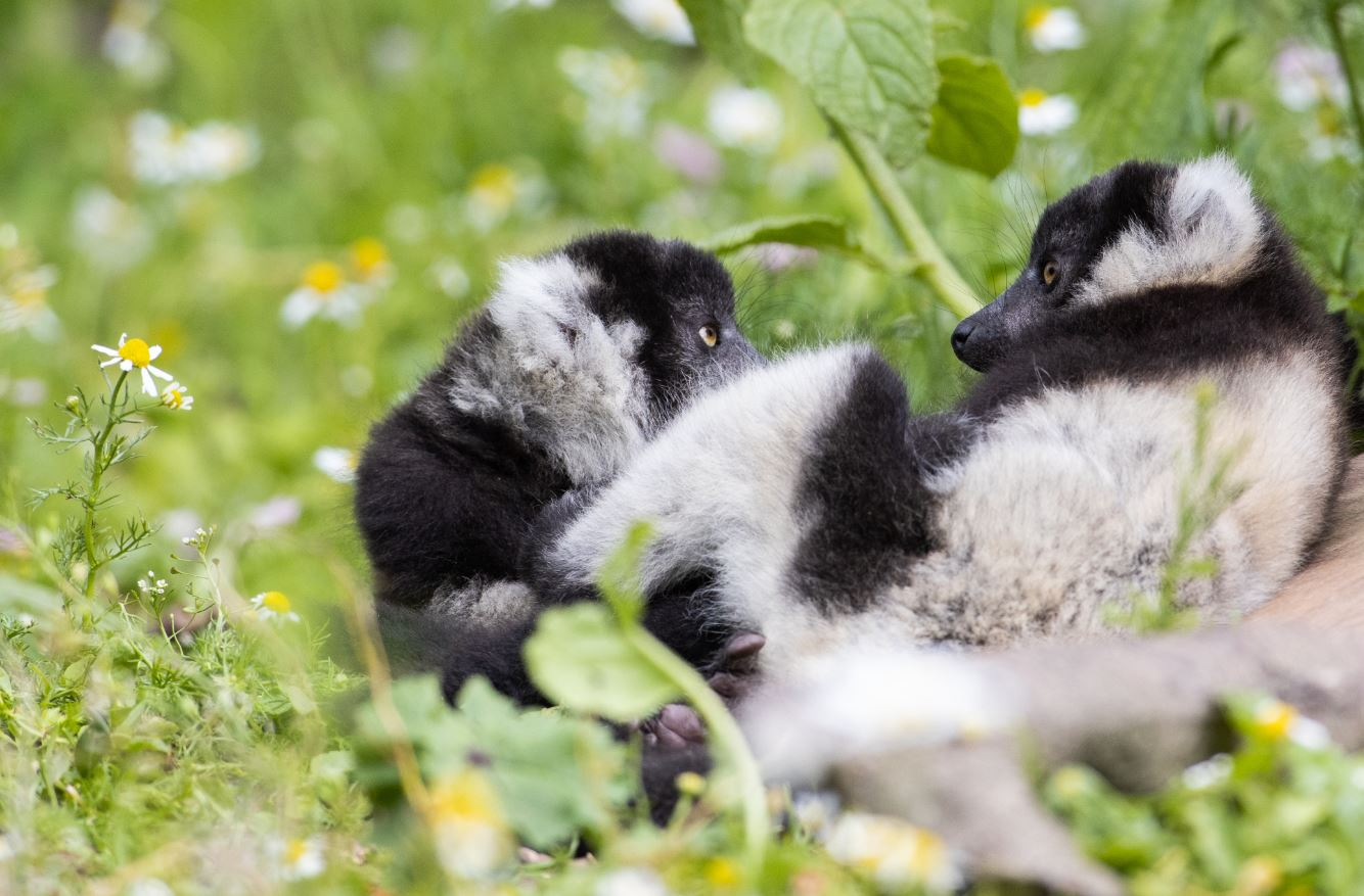 Announcing two new critically endangered Black and White Ruffed lemur babies