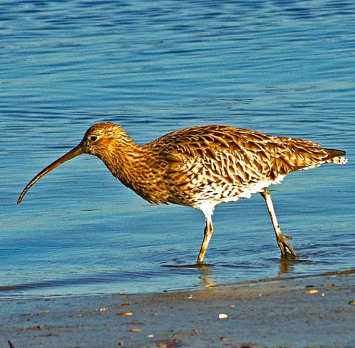Curlew Conservation in Ireland