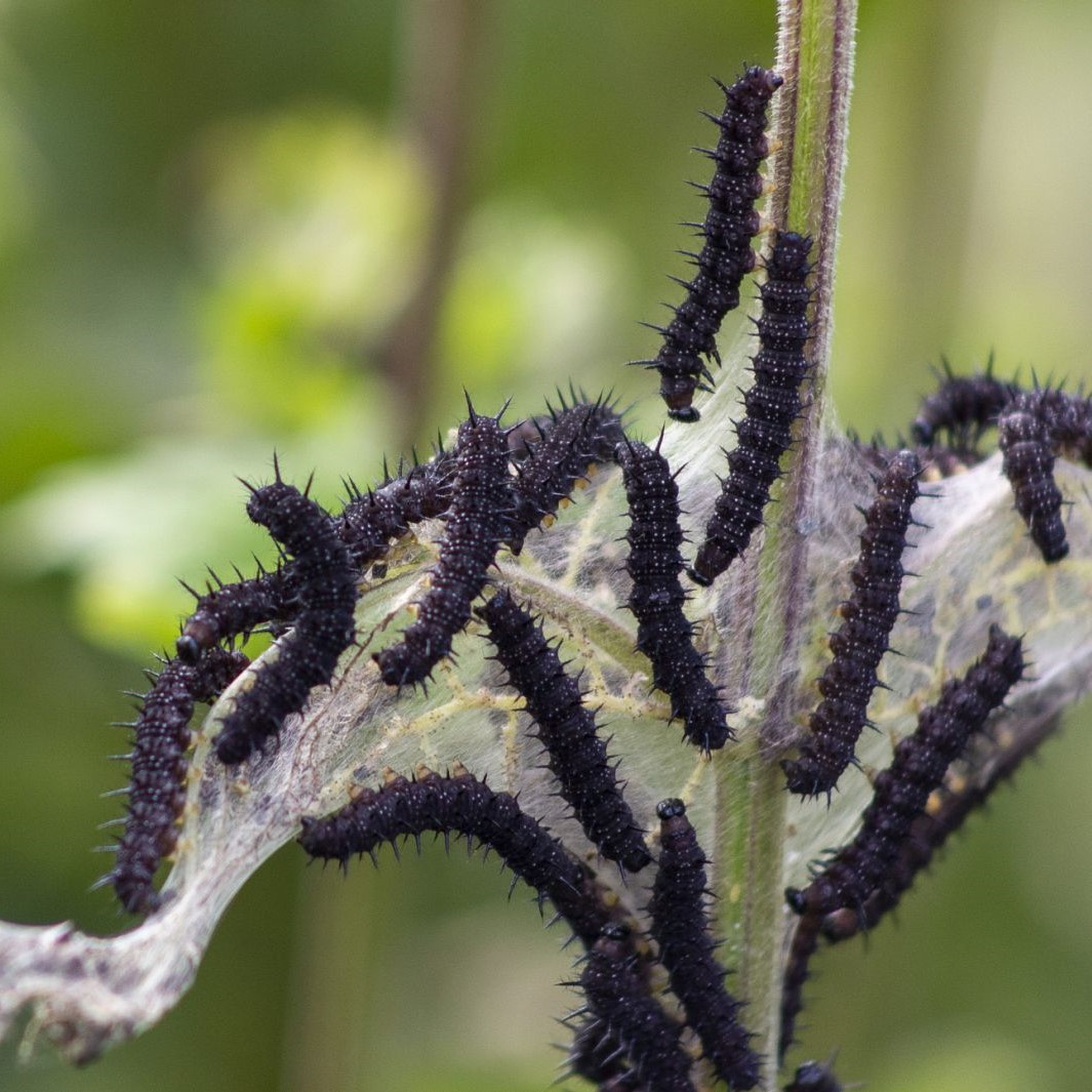 Lots of Reasons to Love the Dreaded Stinging Nettle
