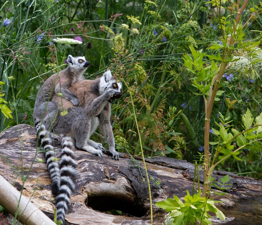 Fota Wildlife Park announces the first two baby Ring-tailed Lemur births in 12 years