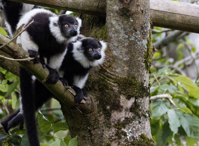 Fota Wildlife Park announces three Black and White Ruffed Lemur babies