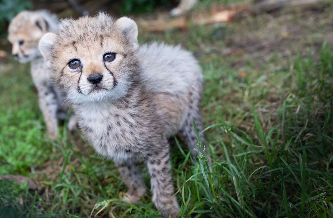 Announcing the birth of five new Endangered Northern cheetah cubs