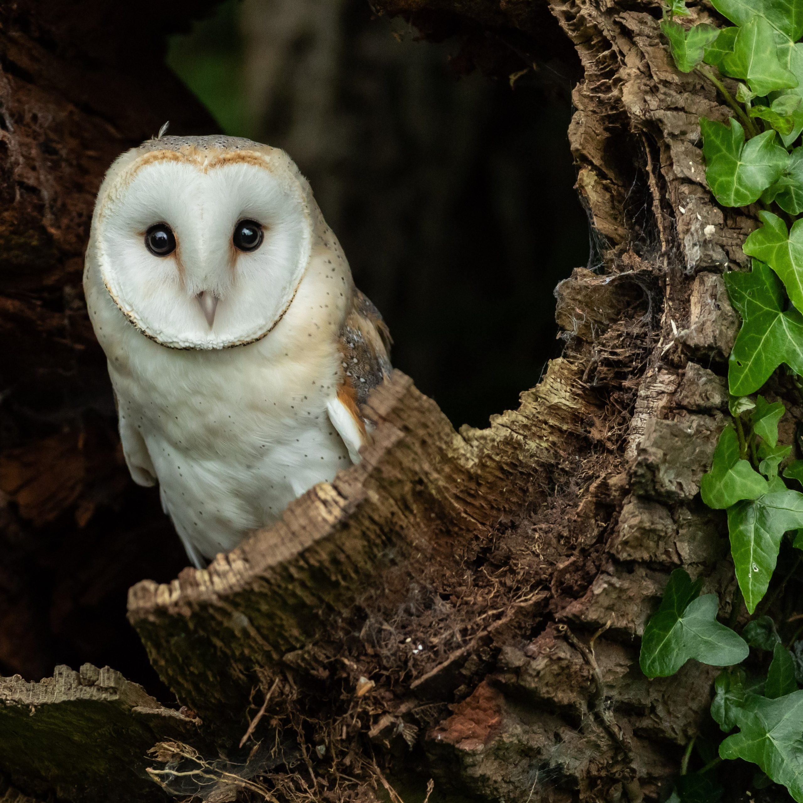 Native Species Series – The Barn Owl