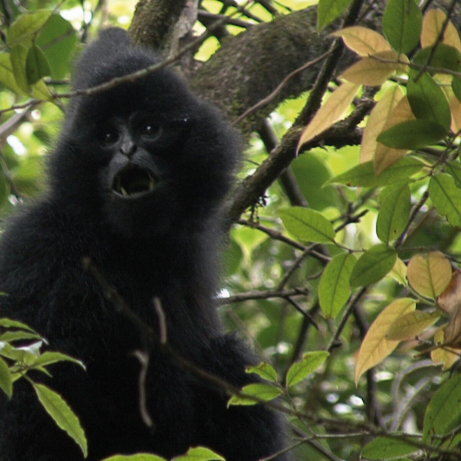 Conservation update on Western black crested gibbon and Tonkin snub-nosed monkey FFI Projects in Vietnam